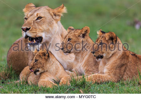 Alert female lion and cubs lay in the grass. - Stock Photo