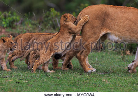 A lion exits the frame with her cubs in tow. - Stock Photo