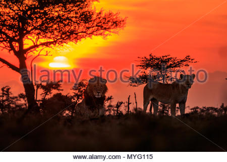 Male and female lions at sunrise. - Stock Photo