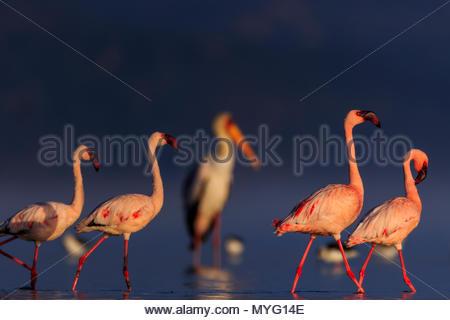 Lesser flamingos and a Yellow-billed stork wade in Lake Nakuru. - Stock Photo