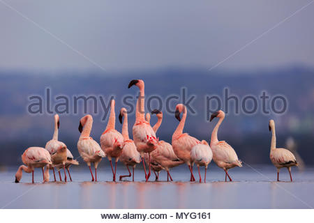 Lesser flamingos wade in Lake Nakuru. - Stock Photo