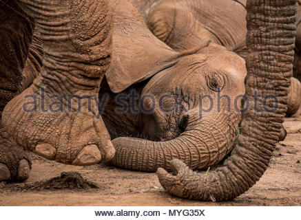 Elephants rest during the heat of the day in Samburu National Reserve. - Stock Photo