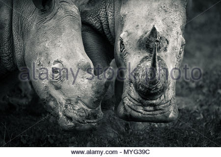 A mother and calf southern white rhino in Solio Rhino Sanctuary. - Stock Photo