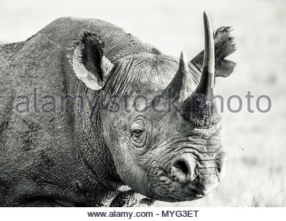 Portrait of a Critically Endangered Black Rhino in Solio Rhino Sanctuary. - Stock Photo