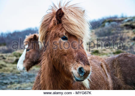 Portrait of an Icelandic pony, Equus caballus. - Stock Photo