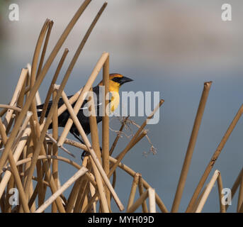 An adult male yellow-headed blackbird perched in dried tan reeds. Photographed in profile with a shallow depth of field. - Stock Photo