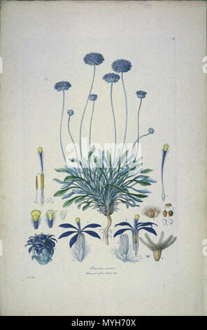 . This is a scan of Plate 10 from Ferdinand Bauer's Illustrationes Florae Novae Hollandiae. The plant featured is Brunonia australis, then known as Brunonia sericea. The result differs from the other scans in the collection, in tone, contrast, and colouration. The image was scanned on its dark green mounting board, for this reason the image was cropped close to the edge of the original plate. early 19th century. Ferdinand Bauer (1760–1826) 88 Brunonia sericea (crop) - Stock Photo