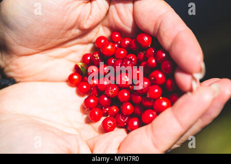 Ripe tasty lingonberry in the palm of a woman. Collect wild berries in the mountains, travel. - Stock Photo