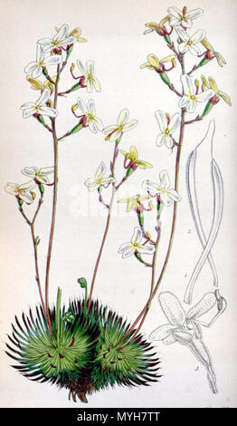 . Botanical print of Stylidium ciliatum (printed as S. saxifragoides, which was later reduced to synonymy with S. ciliatum) from . 1850. Walter Hood Fitch (1817-1892) del. et lith. Description byJohn Smith (1798-1888) 506 Stylidium saxifragoides 4529 - Stock Photo
