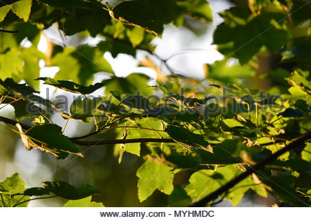 Close up shot of leaves on a tree in the evening sunshine. - Stock Photo
