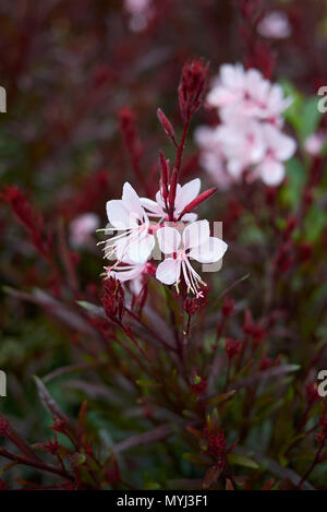 Oenothera lindheimeri with red foliage - Stock Photo