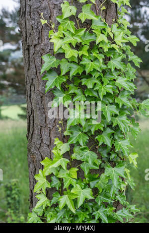 Climbing ivy / Common Ivy - Hedera helix - growing on the trunk of a tree. Hedera helix on tree, creeping ivy. - Stock Photo