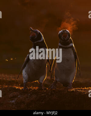 Magellanic penguin - Stock Photo