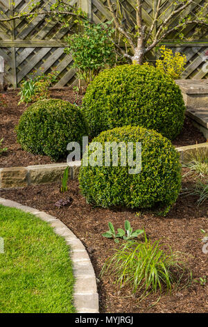 Beautiful, landscaped, private garden close-up with contemporary design, border plants, shrubs, box balls, neat lawn & edges - Yorkshire, England, UK - Stock Photo