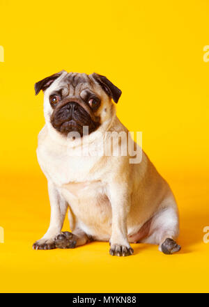 pug dog with yellow background in studio - Stock Photo