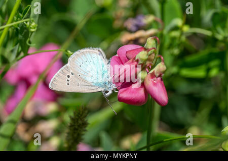 Summer scene with  wild sweet pea flower and Common Blue (Polyommatus icarus) butterfly sucking nectar - Stock Photo