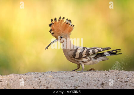 Hoopoe (Upupa epops) on the ground, foraging, Middle Elbe Biosphere Reserve, Saxony-Anhalt, Germany