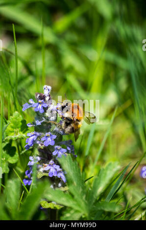 Bumble-bee feeding on blue flowers in green grass close up - Stock Photo