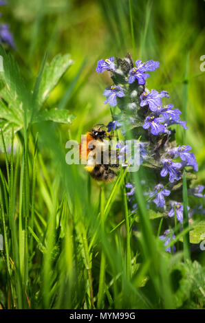 Bumble-bee feeding on blue flowers in green grass close up