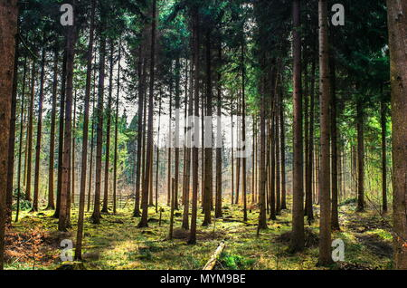 Backlit forest scene tall trees, green leafs, soft warm light - Stock Photo