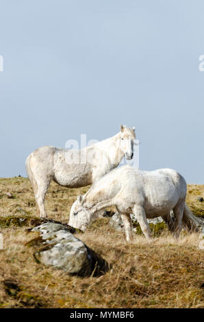 The wild white ponies of the Isle of Eriskay in the Outer Hebrides of Scotland - Stock Photo