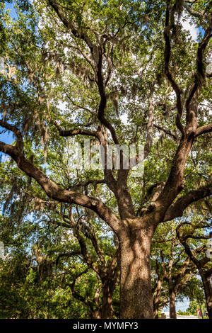 Beautiful live oak tree in Savannah Georgia. - Stock Photo