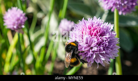 Buff tailed bumblebee feeding on purple chive flower, Edinburgh, Scotland, UK - Stock Photo