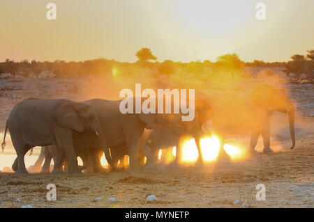 African elephant herd at sunset, etosha nationalpark, namibia, (loxodonta africana) - Stock Photo
