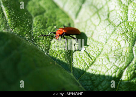 A red-headed cardinal beetle (Pyrochroa serraticornis) - Stock Photo