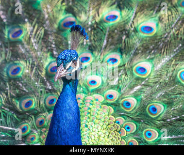Brightly colored Male Indian Peafowl with tail feathers extended in courtship dance. - Stock Photo