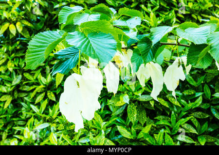 Davidia involucrata, the dove-tree, handkerchief tree, pocket handkerchief tree, ghost tree, handkerchief tree leaves, handkerchief tree flowers, - Stock Photo