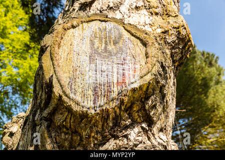 Tree sap, Xylem sap, Phloem sap, blood of tree, tree blood, bleeding tree, Tree sap flows through sapwood, which produces carbon dioxide, cut tree, - Stock Photo