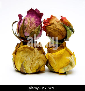 Withered rose heads,  studio shot - Stock Photo
