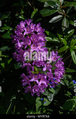 A flower cluster from a Rhododendron, a non native introduced invasive plant in the UK - Stock Photo