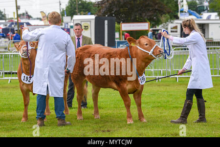 Ardingly Sussex UK 8th June 2018 - Cattle judging at the South of England Show in beautiful sunny weather held at the Ardingly Showground near Haywards Heath Sussex Credit: Simon Dack/Alamy Live News - Stock Photo