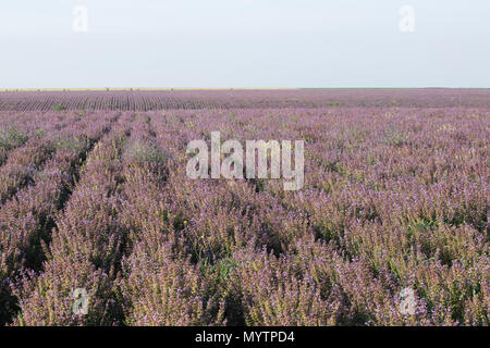 Field of lilac flowers summer landscape - Stock Photo