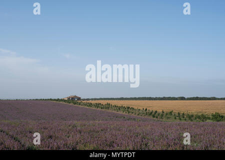 Field of lilac flowers near the house summer landscape - Stock Photo