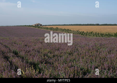 Field of lilac flowers near the house summer landscape close up - Stock Photo