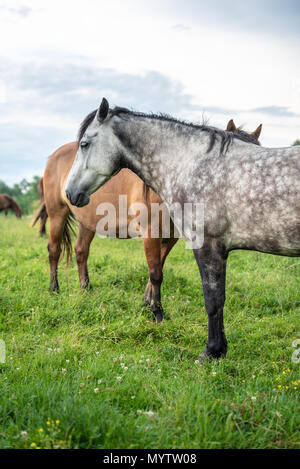 Horses in a field, countryside. Stories about rural life in Ukraine - Stock Photo