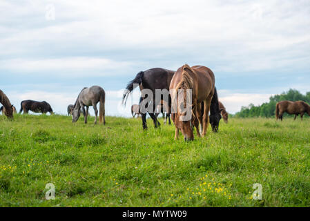Herd of horses grazing in a meadow, beautiful rural landscape with cloudy sky. Stories about rural life in Ukraine - Stock Photo