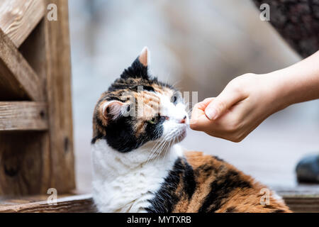 Calico cat curious exploring house backyard by wooden deck, garden, wet wood territory hunting, smelling scent sniffing woman hand girl owner petting  - Stock Photo