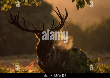 Male Red Deer during the rutting time - Stock Photo
