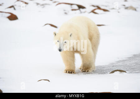 Polar Bear (Ursus maritimus) Yearling cubs with mother close by, Wapusk National Park, Cape Churchill, Manitoba, Canada - Stock Photo