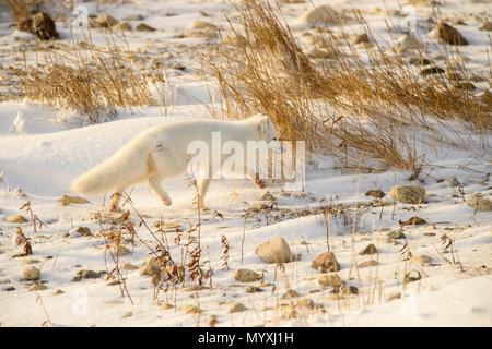 Arctic fox (Vulpes lagopus) Hunting in shoreline grasses, Churchill Wildlife Management area, Churchill, Manitoba, Canada - Stock Photo