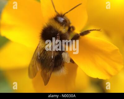 With a threat of rain looming for Bank holiday Monday this bee was taking a chance to gather some pollen from a - Stock Photo