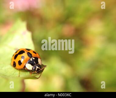 UK weather ladybirds in West Yorkshire - as the warm spell continues this ladybird was enjoying the warmth of the - Stock Photo