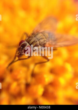 UK weather insects in Leeds, Yorkshire- the sunny spells enticed the insects out to pollinate the flowers at Golden - Stock Photo