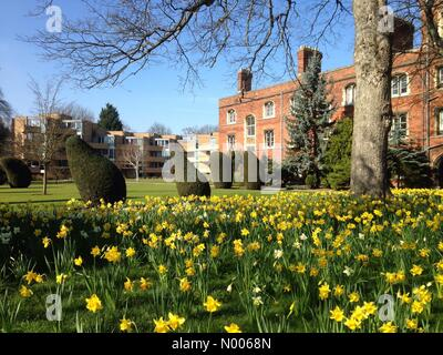 13/03/15 Jesus College, Cambridge, England, UK. Yellow Daffodils signal the arrival of spring in the United Kingdom. - Stock Photo