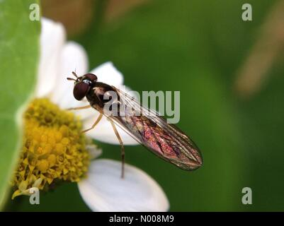 UK weather - The hover flies were making the best of the sunny weather in Leeds, West Yorkshire. This hover fly - Stock Photo