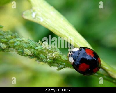UK weather - insects in Leeds. With warm weather in Leeds, West Yorkshire ladybirds of all shapes and sizes were - Stock Photo